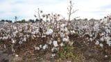 cotton-2281566_1280