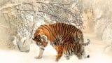 tiger-591359_1280